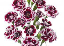 Tros Anjer Spray Carnation gefotografeerd door Joop Gijsbers Bloemen en Planten Fotograaf