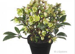 Hellebolus gefotografeerd door Joop Gijsbers Bloemen en Planten Fotograaf