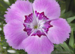 Anjer coll Beauties close-up gefotografeerd door Joop Gijsbers Bloemen en Planten Fotograaf